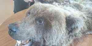 Шкура медведя ковром