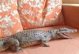 Чучело настоящего крокодила